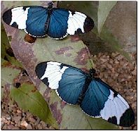 "Heliconius sapho: The ""Holstein"""