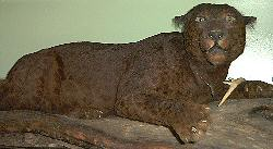 Mounted Black Jaguar form Belize