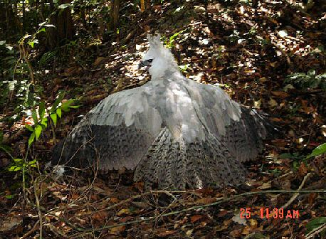 harpy eagle report
