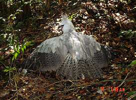 Harpy Eagle at Las Quevas defending freshly killed Kinkajou