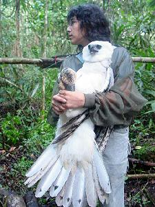 Marta Curti of Peregrine Fund about to release Harpy Eagle
