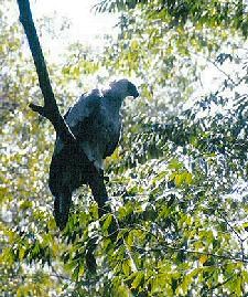 Released Female Harpy Eagle in the RBCMA