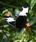 Heliconius sapho on Psiguria