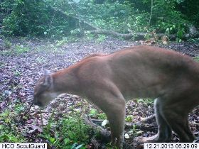 Does a mountain lion crap in the woods?